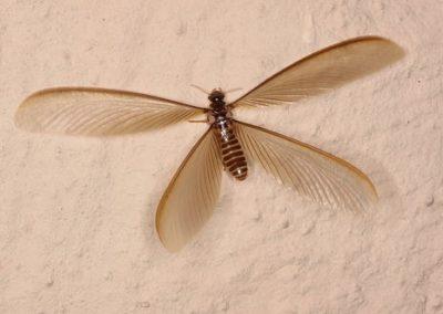 Flying_Termite