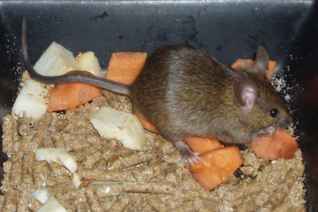 Can Rodent Problems Cause Fires?