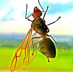Flying Ants, ant-infestation-flying-ant