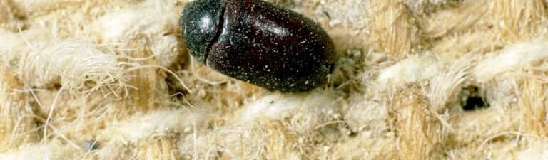 Bed Bug Detection: A Simple Guide to Detect Bed Bugs