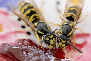 Beware of Hornet Sting in Spring