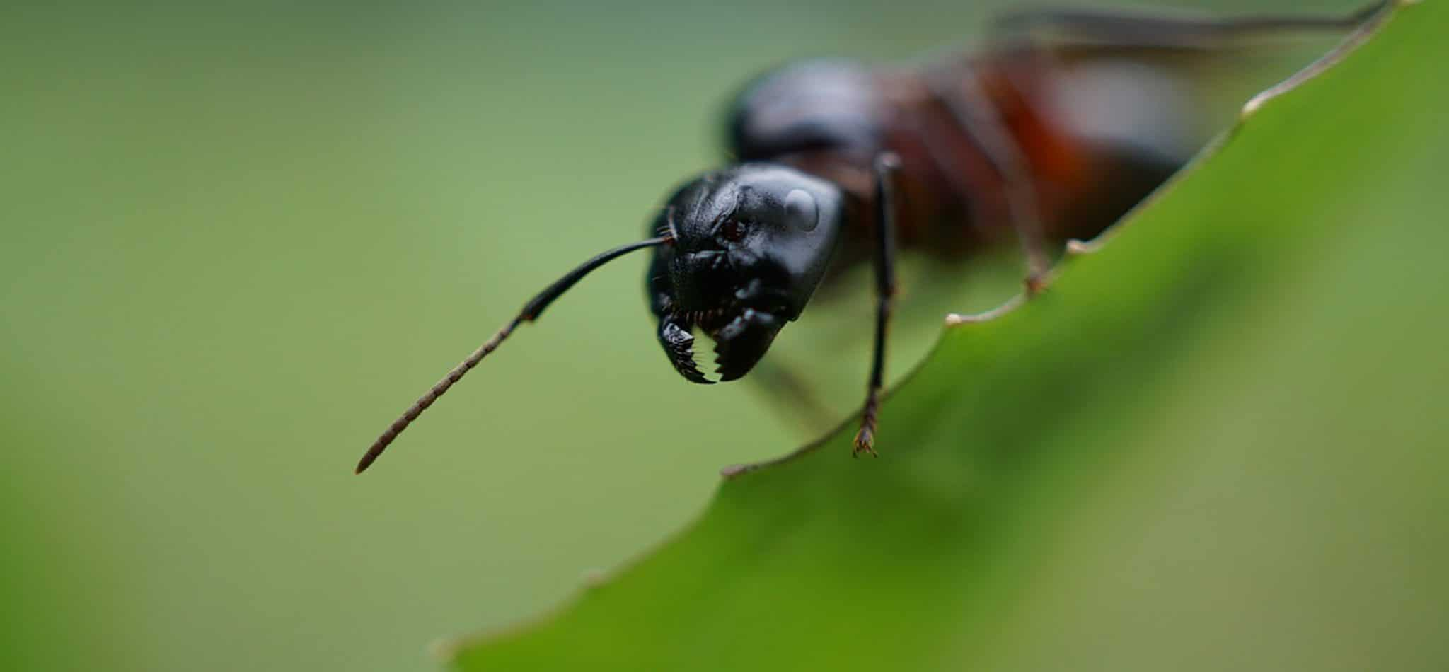 Pest Control Plandome, carpenter ants, carpenter ant, wasps, Rest Easy pest Control, Pest control services, Long Island NY, NYC, Rockland, Westchester, New York, Long Island, Pest Control, Exterminator, Brooklyn, Bronx, Staten Island, NY, exterminator, Nassau County, Suffolk County, bugs, bed bugs, organic pest control, organic exterminator, organic pest, ants,