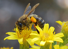 Bees-Wasp Facts, Bees-Wasps Facts, bees-and-wasps-facts-flower-3