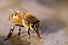 Bees Swarm, bees-and-wasps-facts-home
