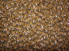 bees-and-wasps-facts-nyc-8