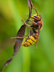 Difference Between Wasps and Hornets, hornet-infestation-bug