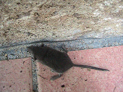 Mice Infestation, mice-infestation-mole-mice