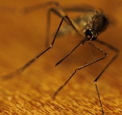 Mosquito Bites, mosquito-elimination-10