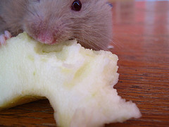 Homeowner Mistakes Against Pest Control, pest-control-nyc-mouse-3