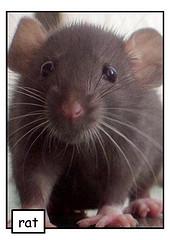 Rat Infestation , rat-infestation-rodents
