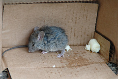 rodent-problems-mouse