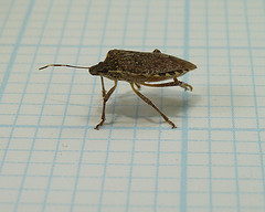 Preventing Stink Bugs, Preventing Stink Bugs, stink-bugs-3-reasons