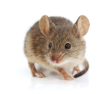 Our Opponent, the Rodent