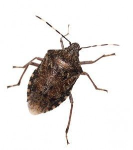 stink bug removal and control on long island and new york, stink bug, Stink Bug Season Is on the Way, Here's a Tip to Protect Your Home, Rest Easy Pest Control, NYC & Long Island Exterminator