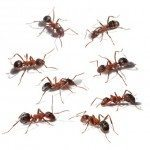 Carpenter Ants in NYC, Carpenter Ants Infestation, Rest Easy Pest Control, NYC & Long Island Exterminator