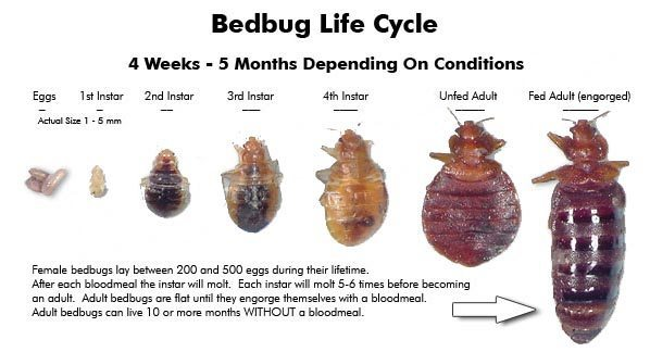 bed bug facts, bed bug lifecycle, Rest Easy pest Control, Pest control services, Long Island NY, NYC, Rockland, Westchester, New York, Long Island, Pest Control, Exterminator, Brooklyn, Bronx, Staten Island, NY, exterminator, Nassau County, Suffolk County, bugs, bed bugs, organic pest control, organic exterminator, organic pest, Getting a termite infestation problem under control quickly, contact us, rest easy, pest control, exterminator, nyc, new york city, brooklyn, queens, nassau, suffolk, new york, rockland westchester, bed bugs, organic pest, Rest Easy pest Control, Pest control services, Long Island NY, NYC, Rockland, Westchester, New York, Long Island, Pest Control, Exterminator, Brooklyn, Bronx, Staten Island, NY, exterminator, Nassau County, Suffolk County, bugs, bed bugs, organic pest control, organic exterminator, organic pest, ants, ants persisting