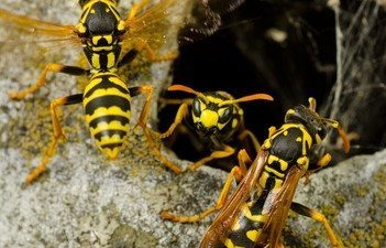Bees & Wasps Sting: How to Avoid the harmful Wasp Sting
