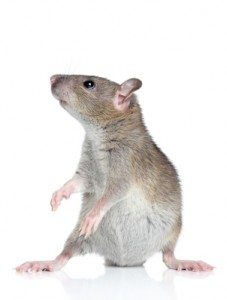 house mice, 5 Important Things You Must Know About Household Mice, Rest Easy Pest Control