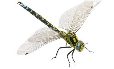 Are the Beautiful Super-Predators, Dragonflies, Harmful to Humans?