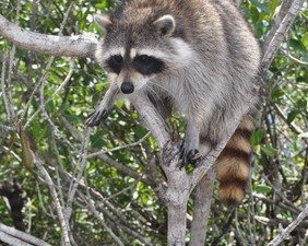 New York City Raccoons