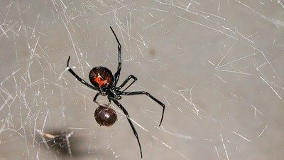 One of the Most Poisonous Spiders in New York: Black Widow
