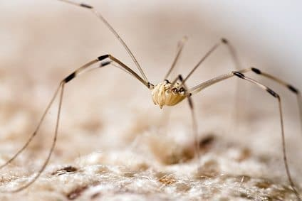 Are Daddy Long Legs Venomous?