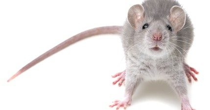 Mice Infestation: 5 Ways to Avoid Invasive Mice Coming Into Your Home