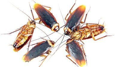 The Invasion of House Roaches in New York