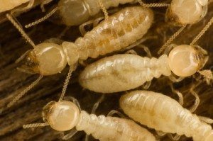 termite, Rest Easy pest Control, Pest control services, Long Island NY, NYC, Rockland, Westchester, New York, Long Island, Pest Control, Exterminator, Brooklyn, Bronx, Staten Island, NY, exterminator, Nassau County, Suffolk County, bugs, bed bugs, organic pest control, organic exterminator, organic pest, Getting a termite infestation problem under control quickly, contact us, rest easy, pest control, exterminator, nyc, new york city, brooklyn, queens, nassau, suffolk, new york, rockland westchester, bed bugs, organic pest, Rest Easy pest Control, Pest control services, Long Island NY, NYC, Rockland, Westchester, New York, Long Island, Pest Control, Exterminator, Brooklyn, Bronx, Staten Island, NY, exterminator, Nassau County, Suffolk County, bugs, bed bugs, organic pest control, organic exterminator, organic pest, ants, ants persisting, termites, Pest control, Glen Cove NY, New York, Long Island, Glen Cove Pest Control and Exterminator, Glen Cove, NY, exterminator, Nassau County