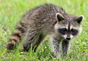 Raccoon Trapping Long Island, New York
