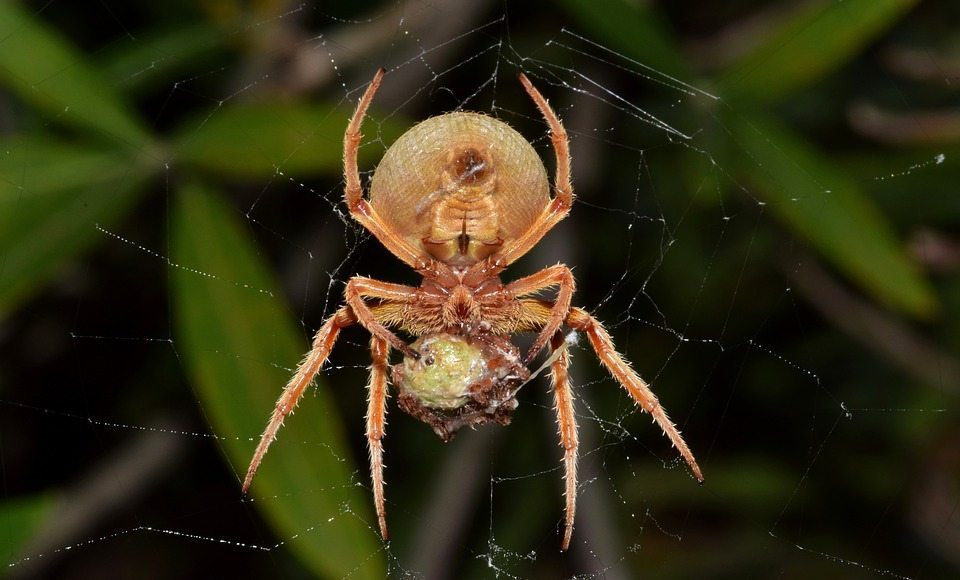 spiders, Rest Easy pest Control, Pest control services, Long Island NY, NYC, Rockland, Westchester, New York, Long Island, Pest Control, Exterminator, Brooklyn, Bronx, Staten Island, NY, exterminator, Nassau County, Suffolk County, bugs, bed bugs, organic pest control, organic exterminator, organic pest, ants,