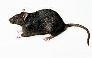 Rat Control in Long island