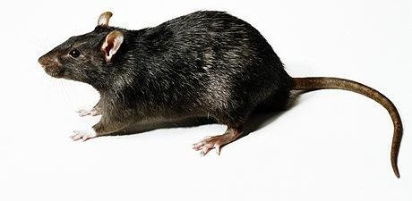 Rat Infestation For Business and Your Home