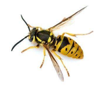 pest-control-wasp