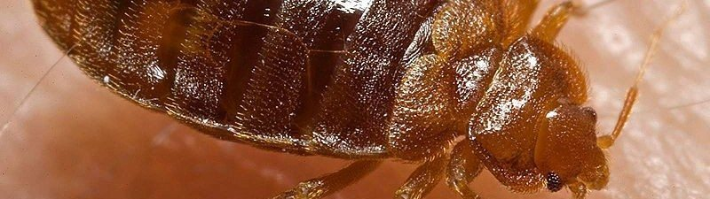 Bed Bugs Exterminator Near Me
