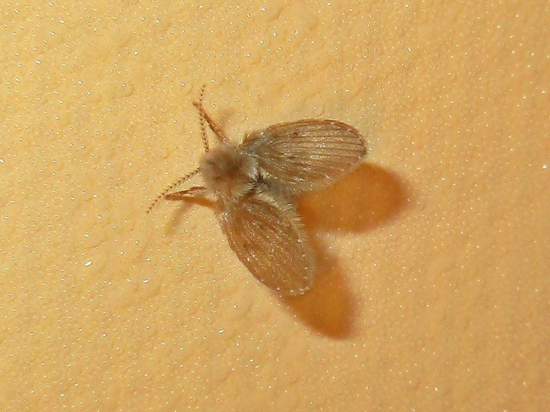 Sewer Fly Bronx NY – Get Rid of Them