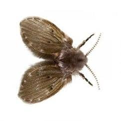 Pest Control Bronx: Five Ways to Get Rid of Drain Flies, Rest Easy Pest Control, NY