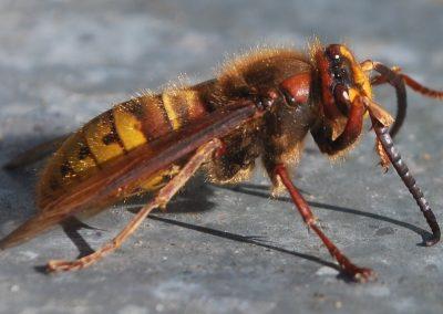 hornet-sting