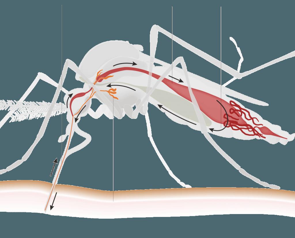 mosquito, zika, zika virus, new york, long island, rest easy pest