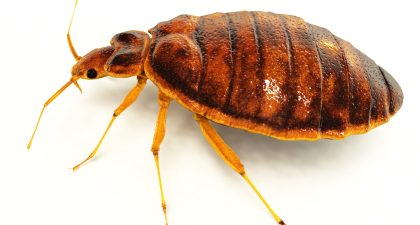 Bed Bug Exterminator:  Know Bed Bugs Habits and Their Characteristics
