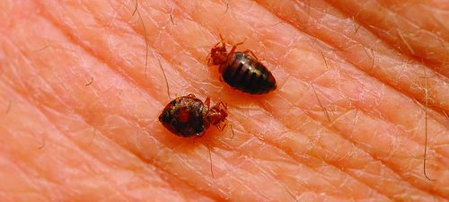 Bed Bug Facts: Five Things You Should Know About Bed Bugs