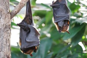 Bat Removal and Trapping in New York and Long Island