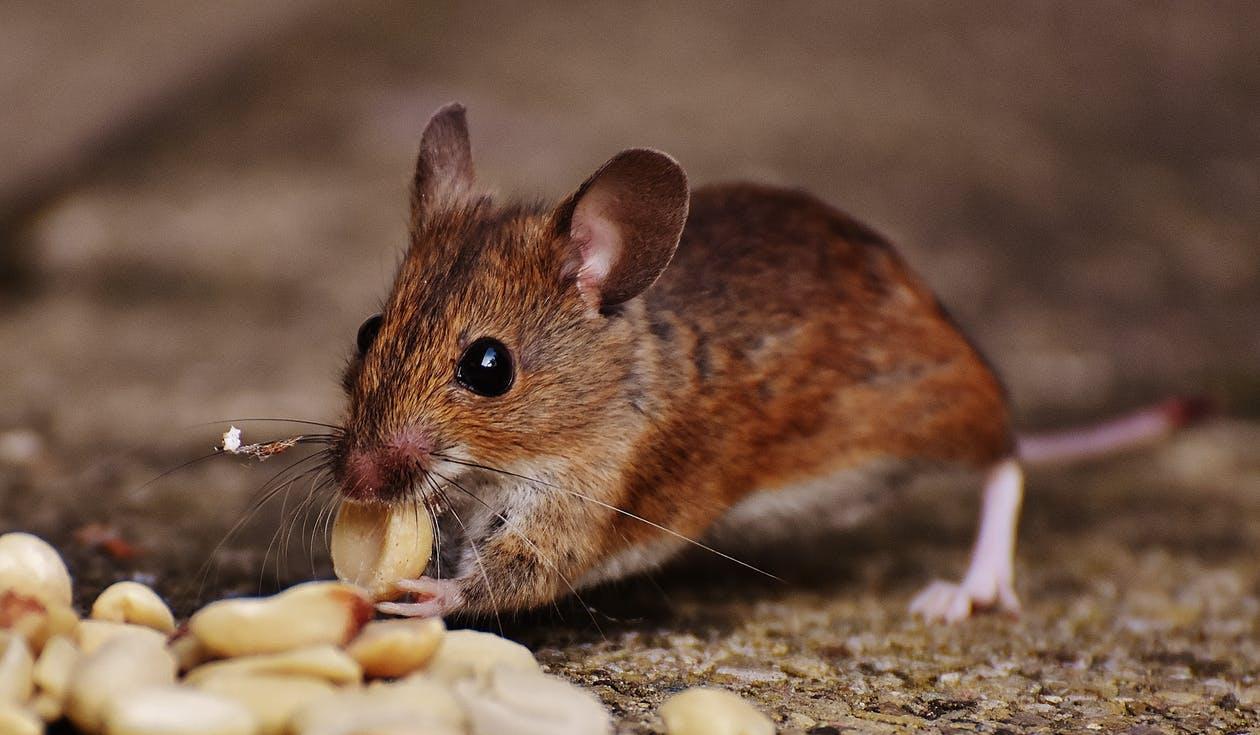 Mice Exterminator Long Island