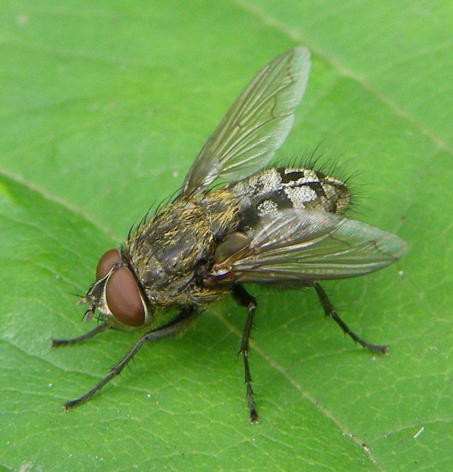 Cluster Flies vs House Flies