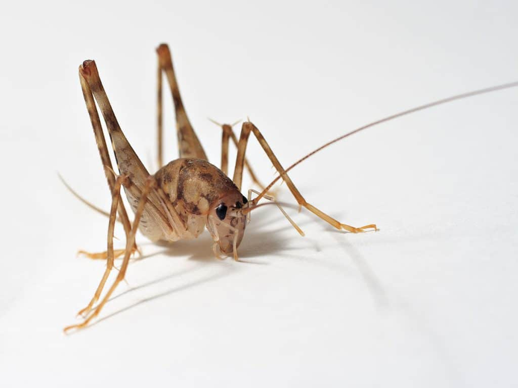 Spider Crickets, the Critters that You Don't Want in Your House