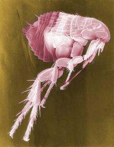 Flea Treatment, Long Island, fleas, get rid of dog fleas, Rest Easy Pest Control