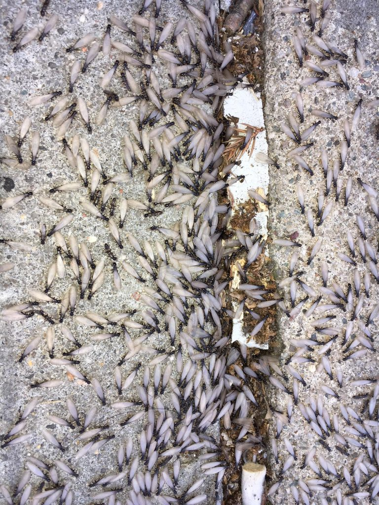 6 Interesting Facts About Termites 24 7 Pest Control Nyc