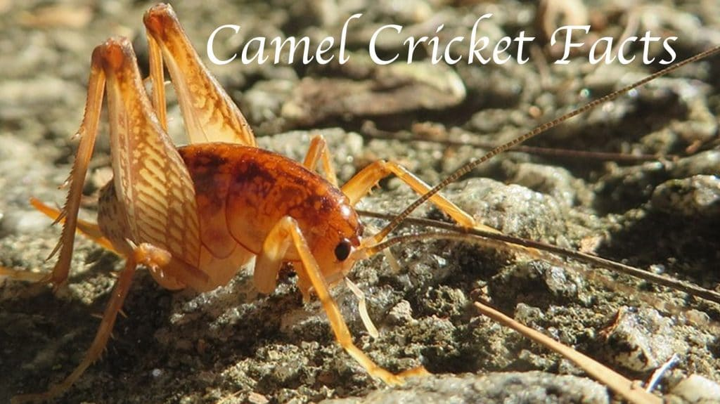 Camel Cricket Facts All Things You Should Know About The