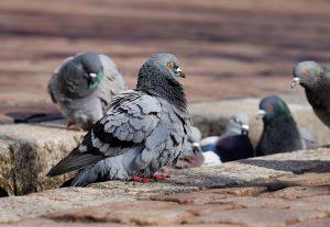 Bird Control Long Island, New York Pigeons