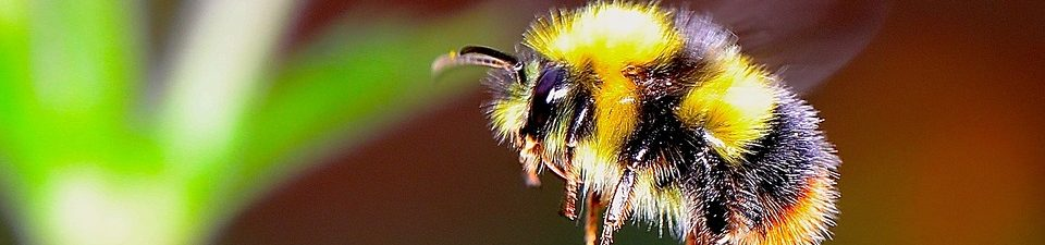 Carpenter Bee vs. Bumblebee: What Are the Differences?